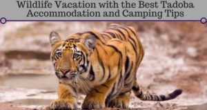 Wildlife Vacation with the Best Tadoba Accommodation and Camping Tips