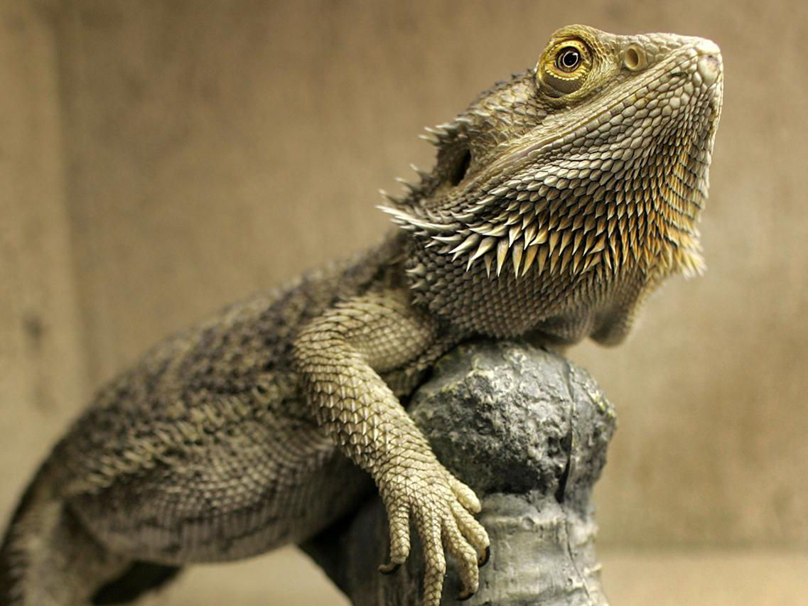 bearded-dragon
