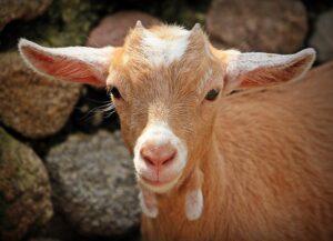 Girlfriend Likes Goats