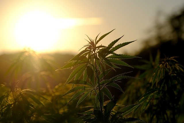 Essential Things You Need To Grow Cannabis