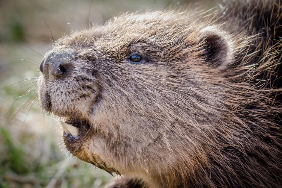 Beaver Meat