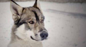 Tamaskan Dog Breed